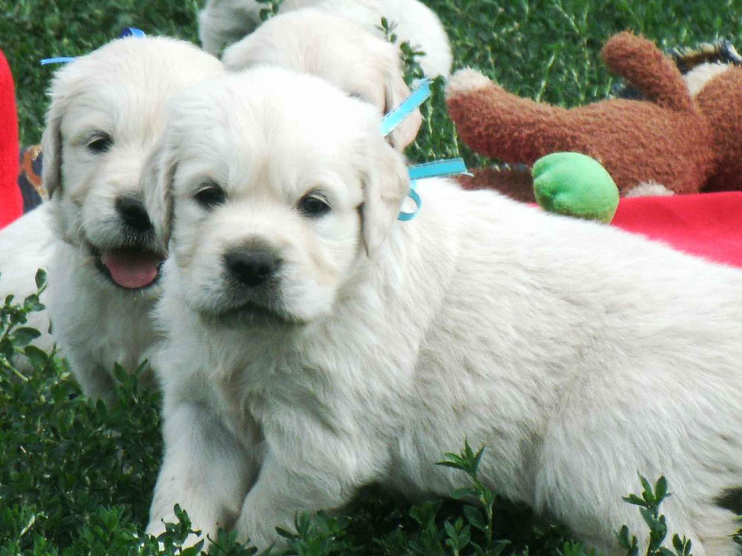 Ретривера великолепные щенки! фото 2