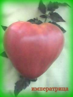 Семена томатов фото 8