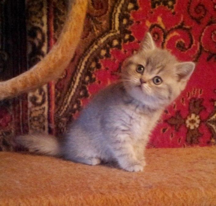 Подготовленные к продаже шотландские котята