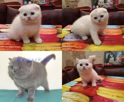 Домашний питомник шотландских кошек
