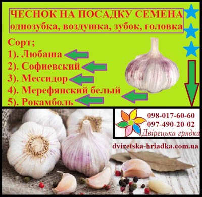 Продам семена сорта Любаша, Дюшес, Софиивськии, Мерефианський белый